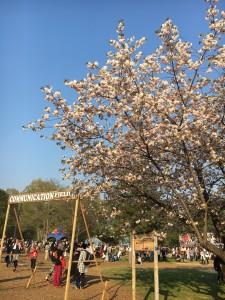 フェスで桜